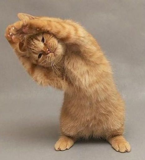 11 Cats That Love To Yoga! The Best of Yoga Cats   Catch ...