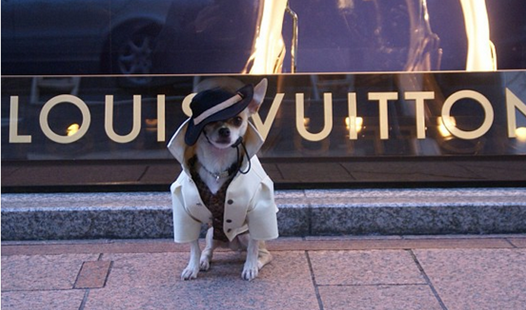 Montjiro, the Japanese Chihuahua.