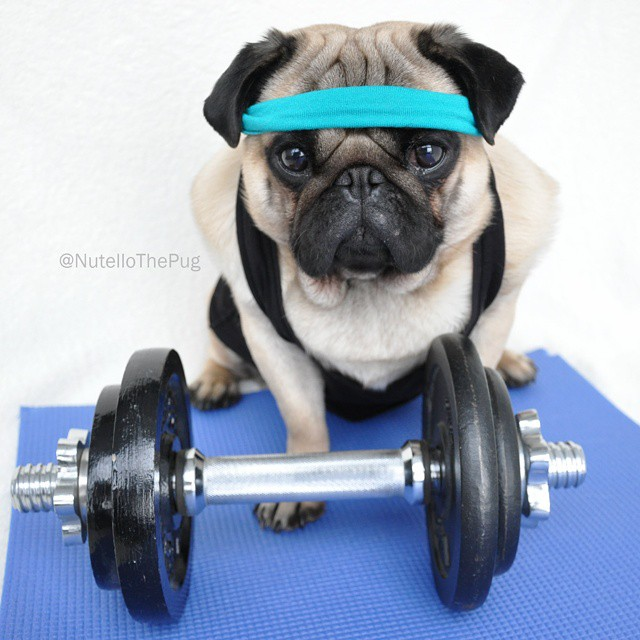Nutello the pug sports